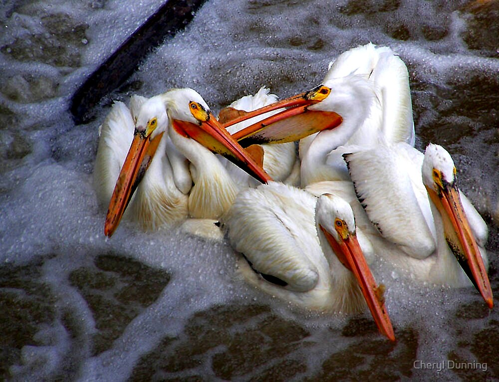 bathing pelicans by Cheryl Dunning