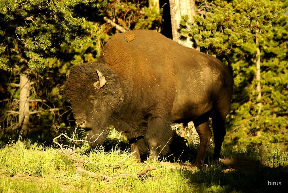 bison closeup by birus