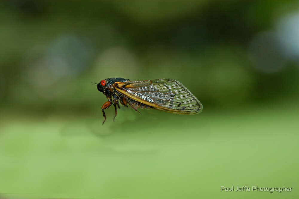 Cicada in flight by Paul Jaffe Photographer