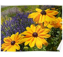 Black eyed susans against Lavendar... Poster