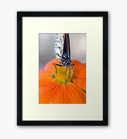 Monarch Butterfly, front view Framed Print