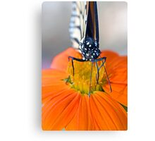 Monarch Butterfly, front view Canvas Print
