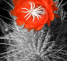 Red Cactus flower blossom by Eyal Nahmias