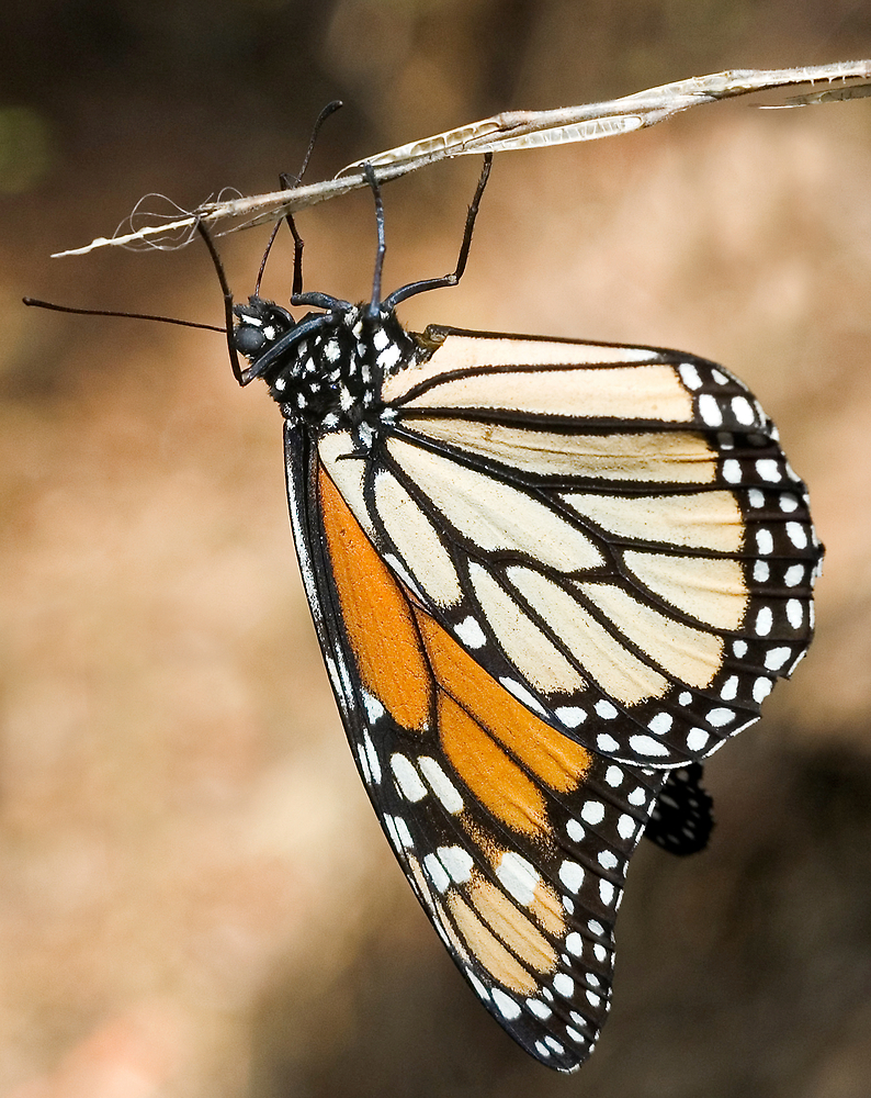 Monarch Butterfly closeup on a twig by Eyal Nahmias