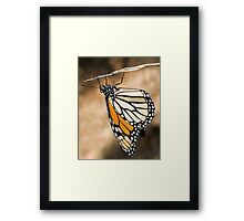 Monarch Butterfly closeup on a twig Framed Print