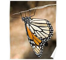 Monarch Butterfly closeup on a twig Poster