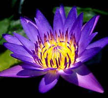 Lotus Glow by Dave Lloyd