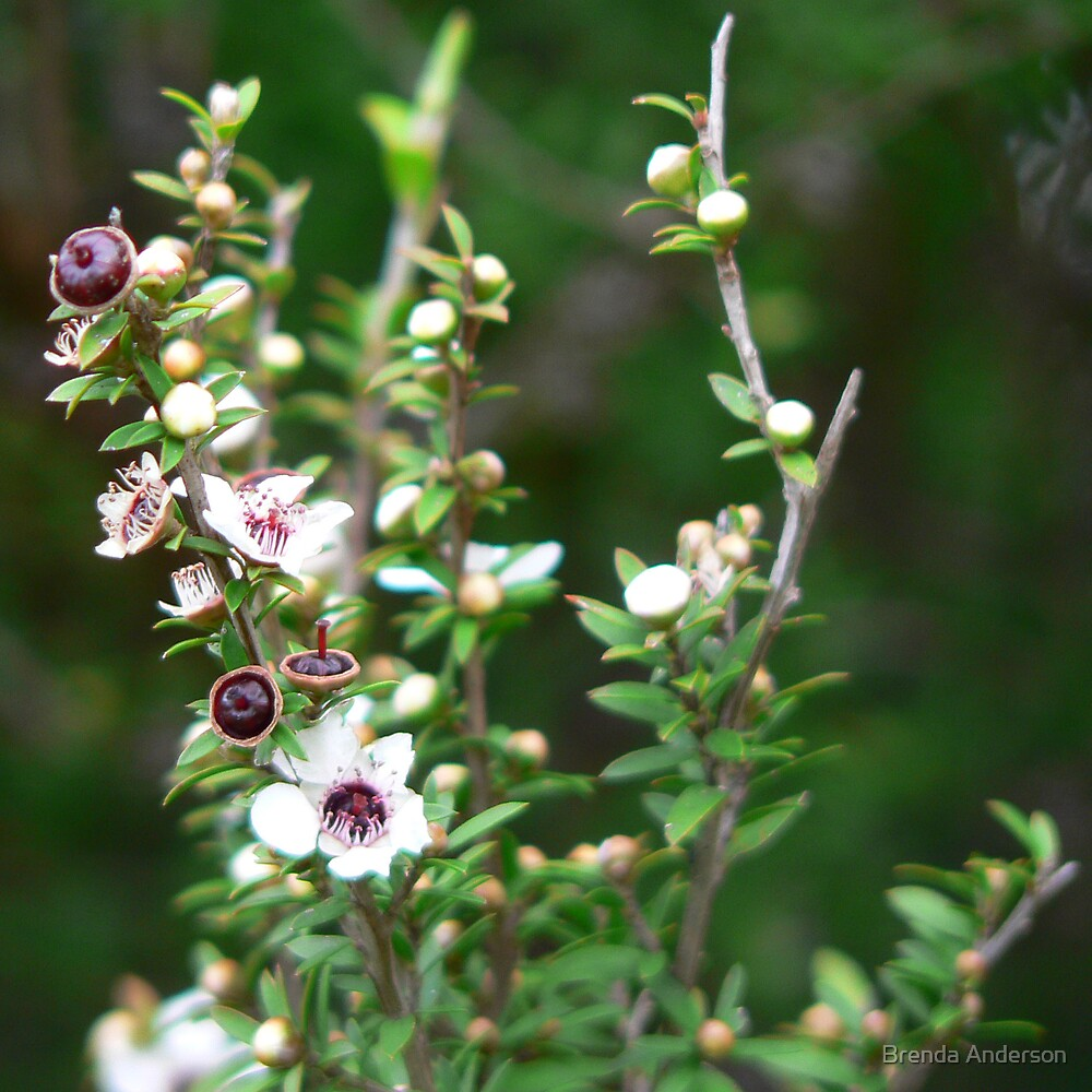 manuka in flower by Brenda Anderson