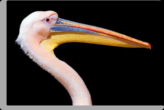 Pink Pelican by Eyal Nahmias