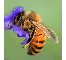 Bee. Photographic Print