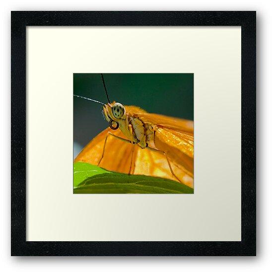 Julia Heliconian butterfly by Eyal Nahmias