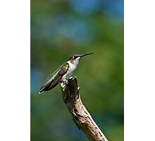 Ruby-Throated Hummingbird Photographic Print