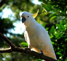 Sulfer Crested Cockatoo by Jaroadie