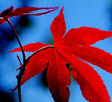 Japanese Maple by Bryan Cossart