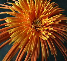 Gerbera by Jan Hopgood