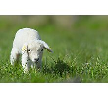 cute lamb Photographic Print