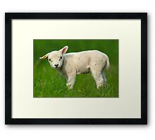 cute baby sheep Framed Print