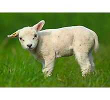 cute baby sheep Photographic Print