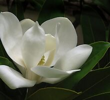White Magnolia by Jan Hopgood