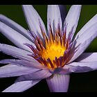 water lily 01 by Kittin