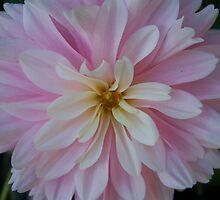 pink dahlia by roxiedog