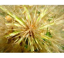 Dandelion Intimacy Photographic Print