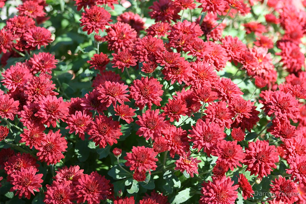 Red Mums by Darryle Ziegler