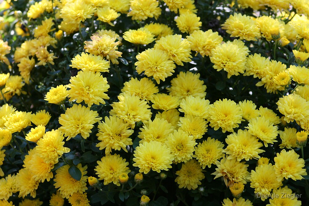 Yellow Mums by Darryle Ziegler