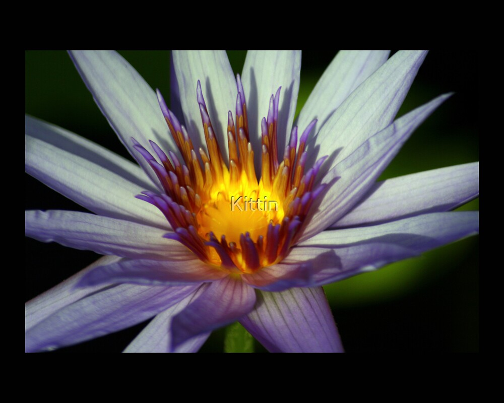 water lily 05 by Kittin