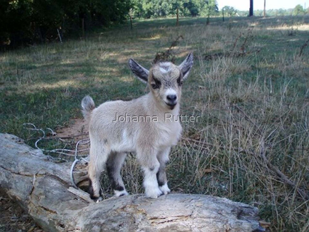 Friend's Goat 2 by Johanna  Rutter