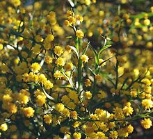 Winged Wattle by kalaryder