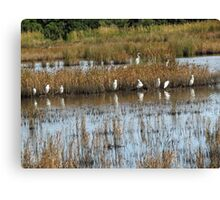 White Egrets Resting on Marsh at Private Island on North Topsail Beach. NC Canvas Print