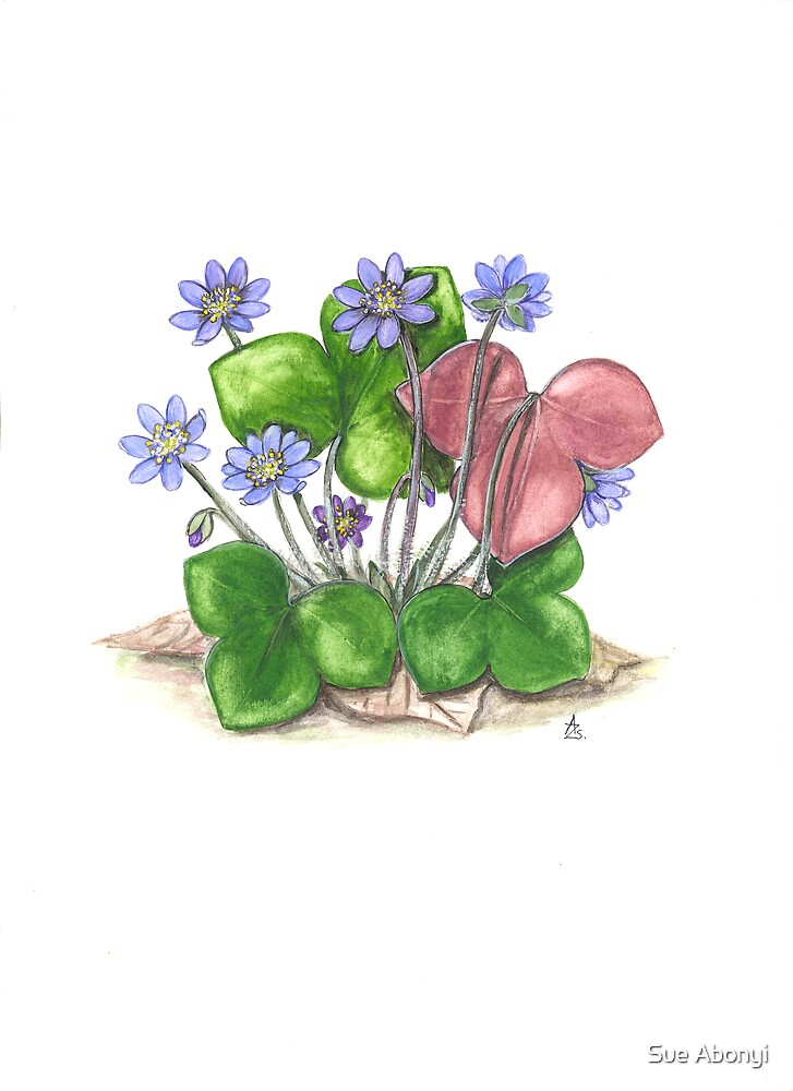 Liverwort - Hepatica nobilis by Sue Abonyi