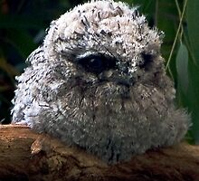 Baby Tawny Frogmouth by Mary Broome