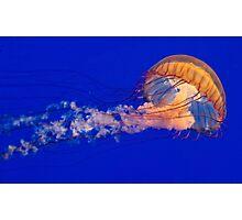 Sea Nettles Jellyfish (Chrysaora fuscescens) Photographic Print