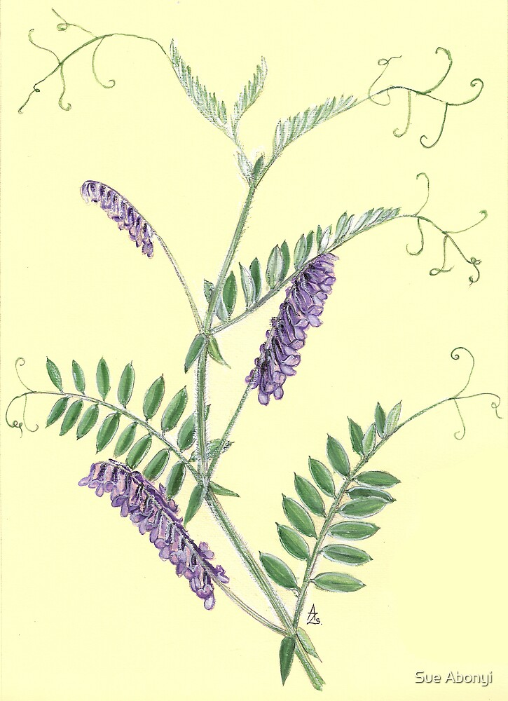 Hairy Vetch - Vicia villosa by Sue Abonyi