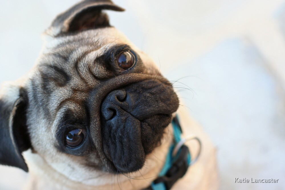 Pug Dog Portrait by Katie Lancaster