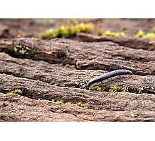 millipede Photographic Print