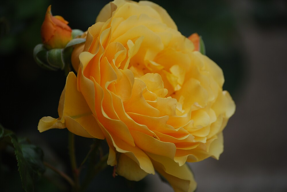 Yellow Rose by Princessbren2006