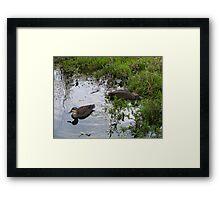 Ducks. Regular visitors. Framed Print