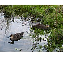 Ducks. Regular visitors. Photographic Print