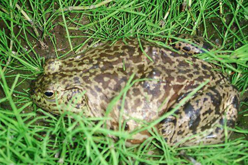 Frog 1 by Arlita Marie Moles