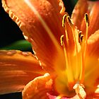 Day Lilly by fotologic