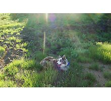Australian Shepard Dog 1 Photographic Print