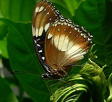 Common Eggfly Butterfly by margotk