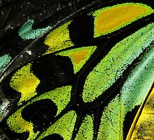 Cairns Birdwing Butterfly Close-Up by margotk