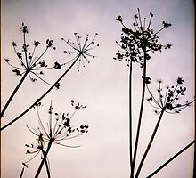 Cow parsley by TonyLegg