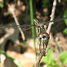 Dragonfly Smile by Chelsea Kerwath