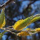 Flame Grevillea (Grevillea excelsior) by lezvee