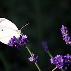Lavender Butterfly by ahbdigital